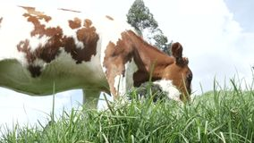 Cow Grazing stock video footage