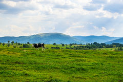 Cow grazing on green grass Stock Image