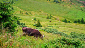Cow grazing on the green hill of Carpathian mountains, Ukraine. Royalty Free Stock Photo