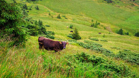 Cow grazing on the green hill of Carpathian mountains, Ukraine. Stock Image