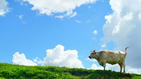 Cow grazing on green hill top in mountains on background of beautiful summer clouds