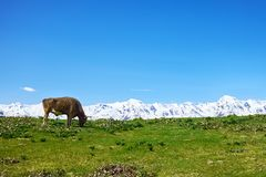 Cow grazing on a green meadow against the white mountains stock image