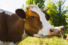 A cow grazing on a green meadow on a clear summer sunny day.  stock photography