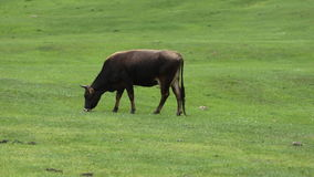 Cow Grazing on a Green Meadow stock video footage