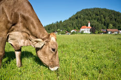 Cow grazing in a green meadow Royalty Free Stock Images