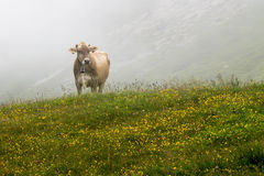 Cow grazing Stock Images