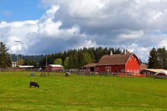 Cow Grazing on Green Pasture by Red Barn Royalty Free Stock Images