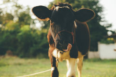 Cow. Are grazing in green pastures Stock Photos