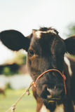 Cow. Are grazing in green pastures Royalty Free Stock Photo