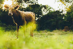 Cow. Are grazing in green pastures Royalty Free Stock Image