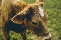 Cow. Are grazing in green pastures Stock Image