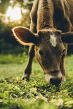 Cow. Are grazing in green pastures Stock Images