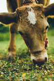 Cow. Are grazing in green pastures Royalty Free Stock Photography