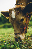 Cow. Are grazing in green pastures Stock Photography