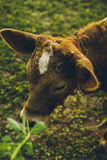 Cow. Are grazing in green pastures Royalty Free Stock Photos