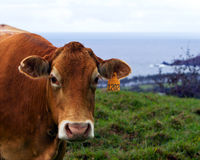 Cow at Hana coast Royalty Free Stock Images