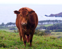 Cow grazing at Hana coast. Cow grazing at Hana Ranch, above Hana Bay and Pacific ocean on Maui, Hawaii.  Tiny Alau Island off in the distance right Stock Photos