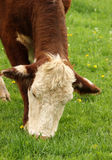 Cow Grazing. A hereford heifer grazing on lush green grass royalty free stock photos