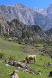 Cow grazing in the highlands of North Ossetia. Royalty Free Stock Image