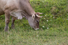 Cow grazing Royalty Free Stock Photos