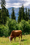 Cow grazing on the hillside. Stock Photos