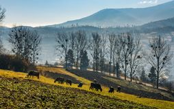 Cow grazing on hillside in autumnal countryside. Lovely agricultural scenery in Carpathian mountainous rural area royalty free stock photography