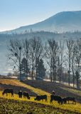 Cow grazing on hillside in autumnal countryside. Lovely scenery in Carpathian mountainous rural area Royalty Free Stock Image