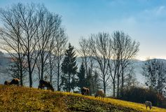 Cow grazing on hillside in autumnal countryside. Cow grazing near the trees on hillside in autumnal countryside. lovely scenery in Carpathian mountainous rural stock photography