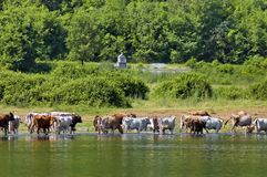 Cow grazing at lake Stock Photo