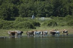 Cow grazing at lake Kerkini Stock Photography