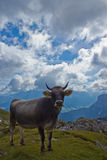 Cow on the grazing land of Val Badia Royalty Free Stock Photo