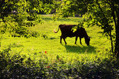 A cow grazing on the lawn among the trees in summer Stock Photo
