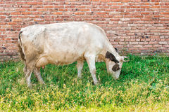 Cow grazing on the lawn. White cow grazing on the lawn on summer day Royalty Free Stock Images