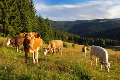 Cow grazing on the meadow royalty free stock photo