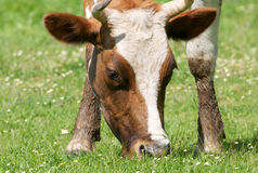 Cow grazing in meadow Royalty Free Stock Photos