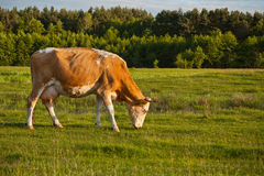 Cow grazing in meadow Stock Image