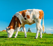 Cow grazing on meadow Royalty Free Stock Image