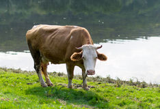 Cow grazing in a meadow Stock Images