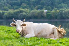 Cow grazing in a meadow Royalty Free Stock Images