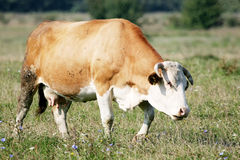 Cow grazing on meadow Stock Photo