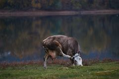 Cow grazing in the meadow. On the background of the lake royalty free stock image