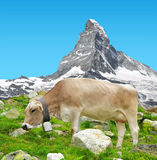 Cow grazing in the meadow Stock Image