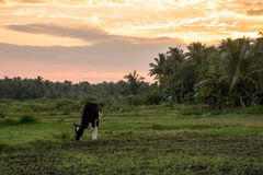 Cow grazing in a meadow on a background of palm trees. Exotic landscape. Rural quiet life in the Andaman Islands. evening light, beautiful sunset in the royalty free stock photos