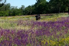 A cow grazing in a meadow. Blossoming steppe grass sage royalty free stock photography