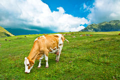 Cow grazing on meadow Stock Photography