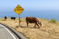 Cow grazing at the meadow on the cliffs of the shoreline Royalty Free Stock Photo