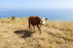 Cow grazing at the meadow on the cliffs of the shoreline Royalty Free Stock Image