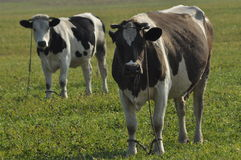 Cow grazing in the meadow. Close-up. Farm Animals Royalty Free Stock Photos