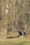 Cow grazing in the meadow. Close-up. Farm Animals Stock Photos