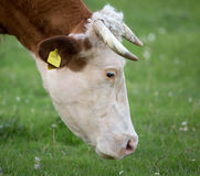 Cow grazing on meadow Royalty Free Stock Images